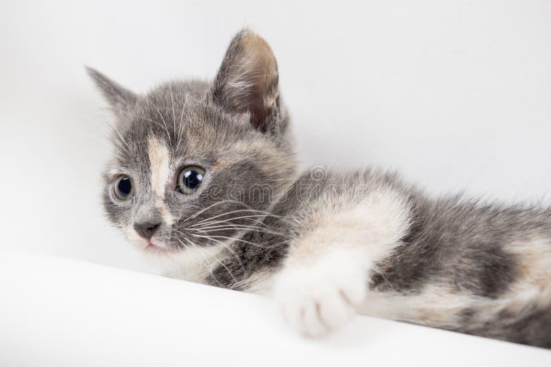 Il piccolo gattino tricolore calmo sta riposando su un fondo bianco immagini stock