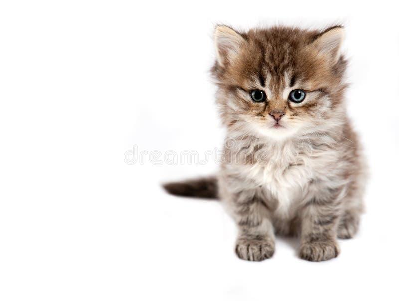 Il piccolo gatto è isolato immagine stock