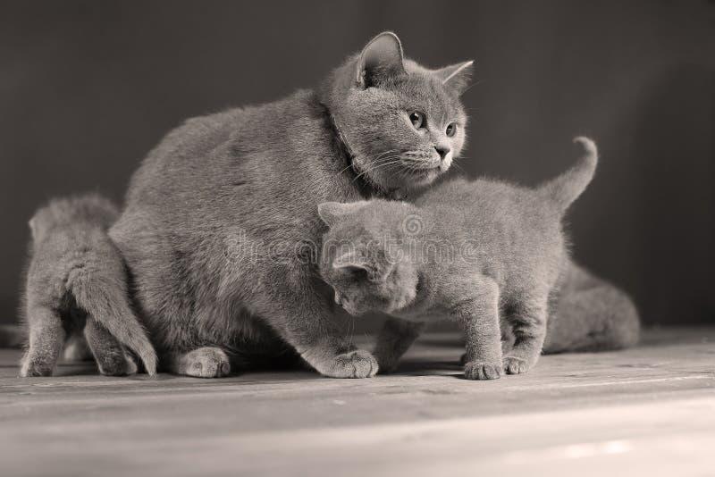 Il piccolo gatto della madre e del gattino gioca, isolato fotografia stock