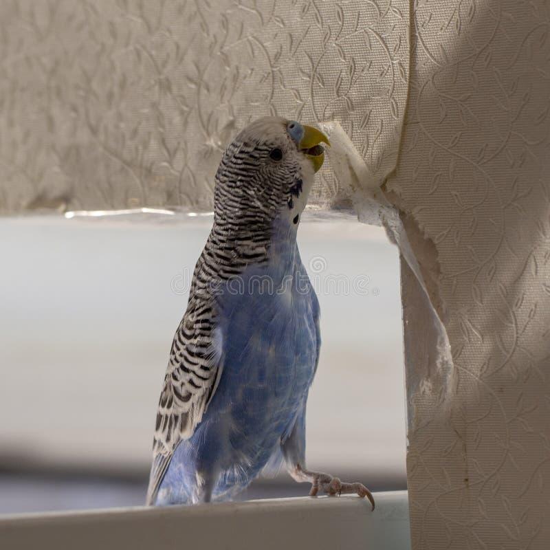 Il piccolo pappagallo ondulato blu, sedentesi su un ramo, rosicchia gli strappi graffia la parete, inducente il danno ad incartar fotografie stock libere da diritti