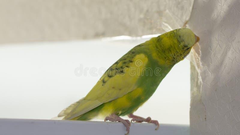 Il piccolo pappagallo ondulato verde giallo, sedentesi su un ramo, rosicchia gli strappi graffia la parete, inducente il danno ad immagini stock libere da diritti