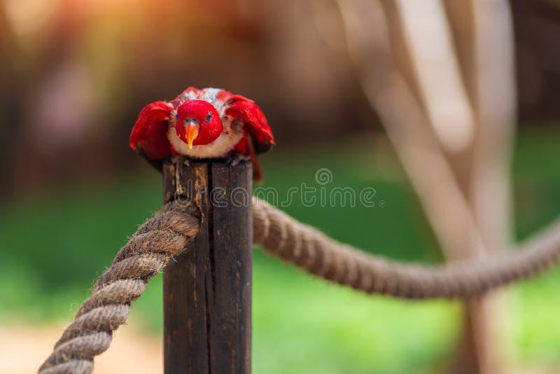 Il piccolo pappagallo rosso con il becco giallo si siede sul ramo Pappagallo australiano in zoo di Israele immagine stock libera da diritti