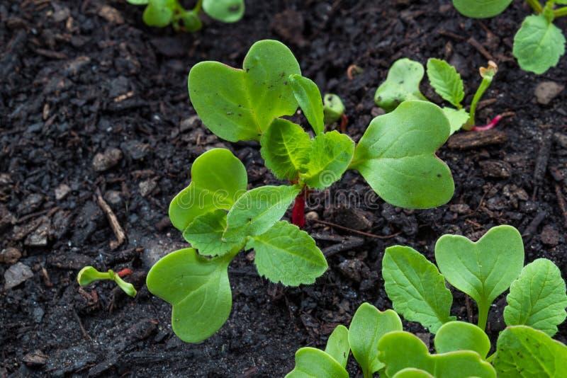 Il piccolo ravanello verde e rosso germoglia nel terreno colturale organico fotografia stock