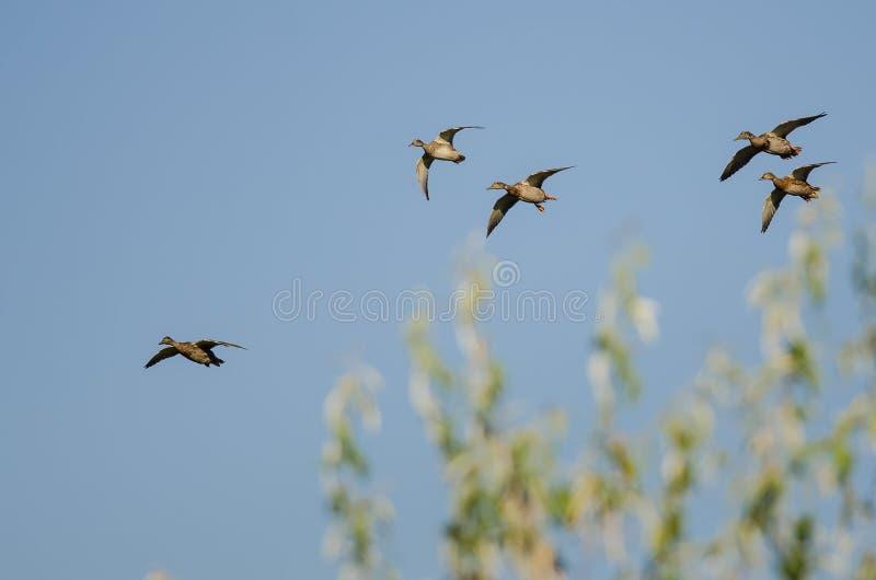 Il piccolo stormo di Mallard Ducks il volo in un cielo blu fotografie stock libere da diritti