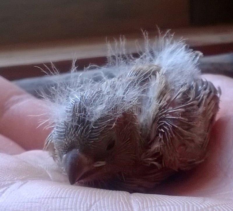 Il piccolo uccellino implume defenceless ha ottenuto caldo dal calore della palma umana fotografia stock