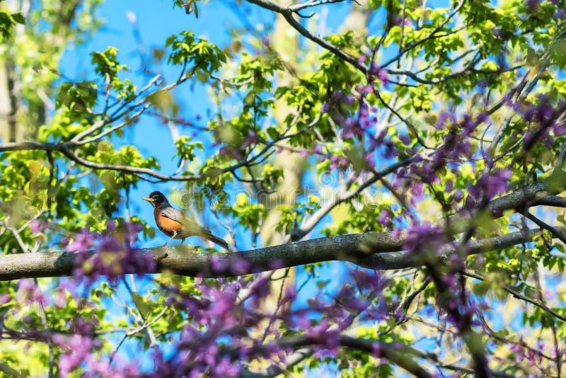 Il piccolo uccello che il nome è migratorius di Robin Turdus dell'americano sull'albero di fioritura della molla fotografia stock libera da diritti