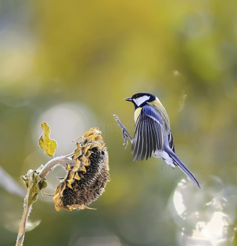 Il piccolo uccello vola al fiore dei semi di girasole e desideroso immagine stock