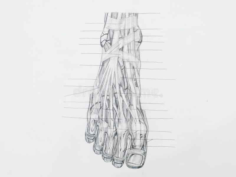 Il piede muscles il disegno a matita dei tendini fotografie stock