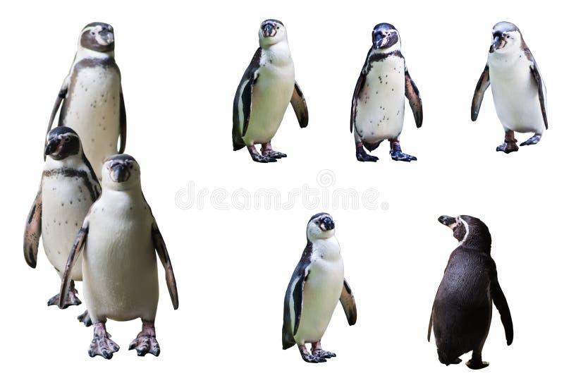 Il pinguino immagine stock libera da diritti