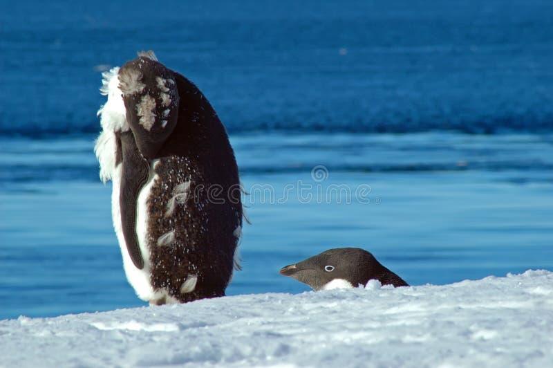 Il pinguino, don´t perde la vostra testa! fotografie stock libere da diritti