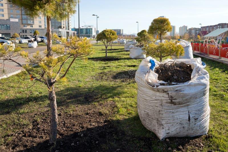 Il pino è piantato accanto ad una borsa di suolo in un terreno incolto in una zona residenziale Inverdimento della città di Krasn fotografia stock