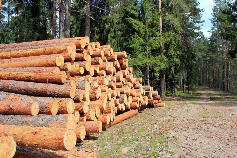 Il pino collega la foresta della primavera immagini stock