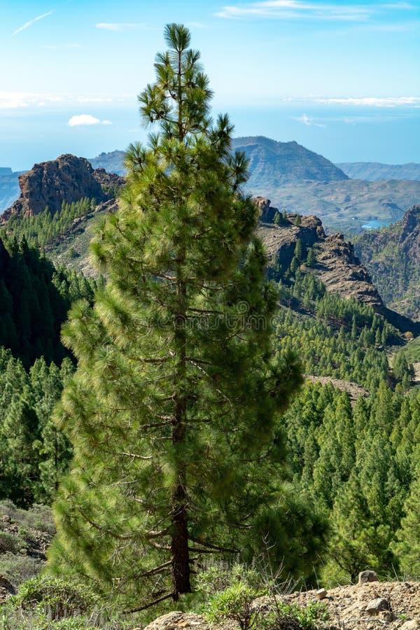 Il pino e le montagne delle isole Canarie verdi abbelliscono sull'isola di Gran Canaria, il canarino, Spagna immagine stock libera da diritti