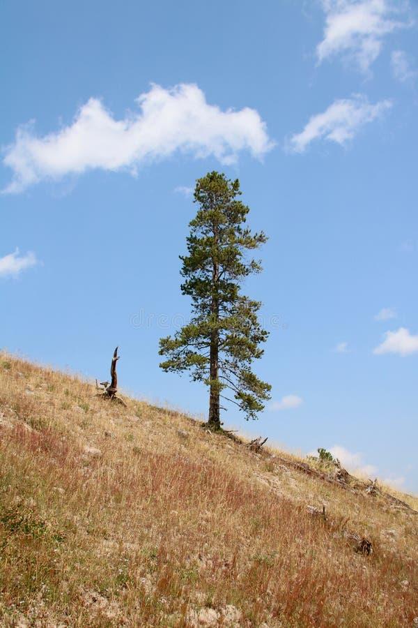 Il pino solitario immagine stock libera da diritti