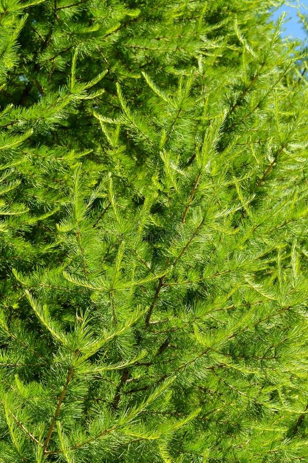 Il pino verde si ramifica sfondo naturale del primo piano fotografie stock libere da diritti