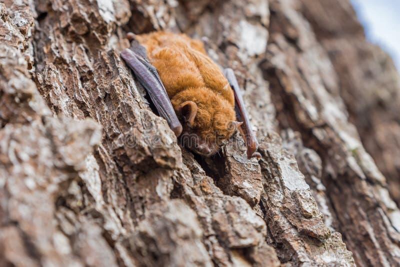 il pipistrello dorme sulla corteccia di un tronco di albero immagini stock libere da diritti