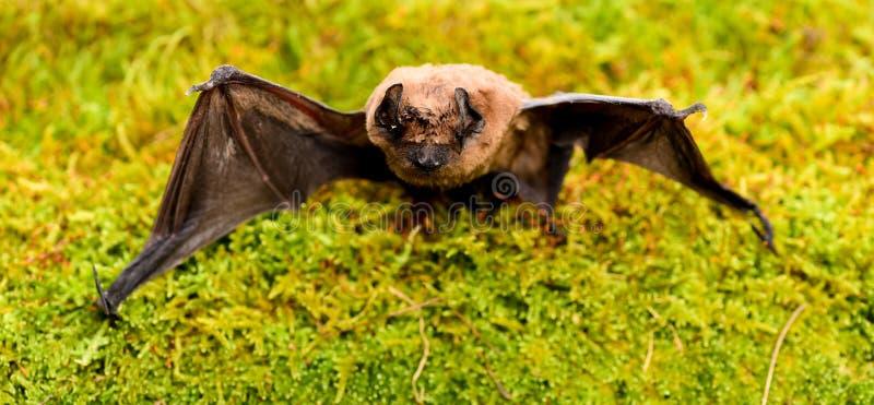 Il pipistrello emette il suono ultrasonico per produrre l'eco Rivelatore del pipistrello Pipistrello brutto Manichino del pipistr fotografia stock