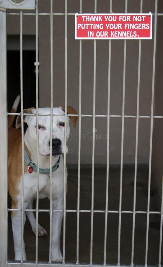 Il pitbull si siede nella sua gabbia al riparo animale fotografia stock