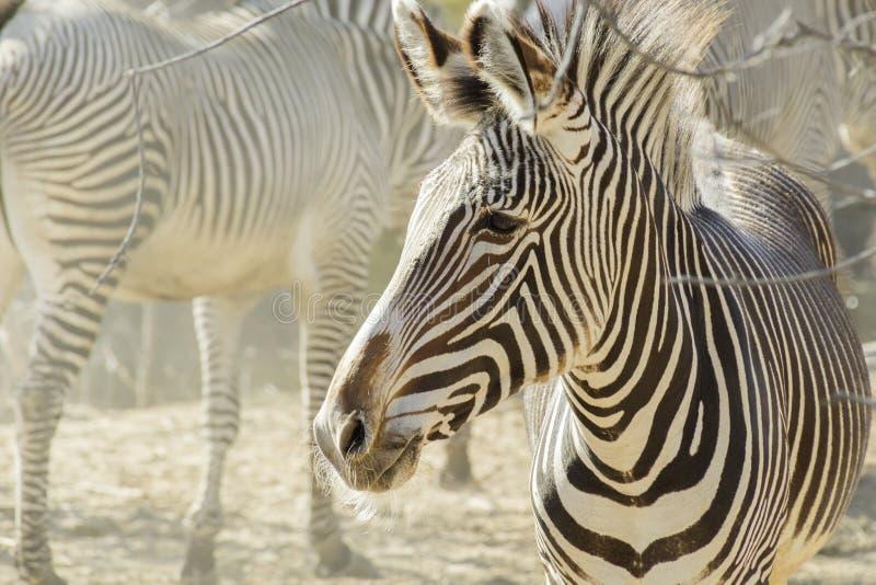 Il pomeriggio nebbioso caldo evidenzia il piccolo gregge delle zebre ad uno zoo locale fotografia stock