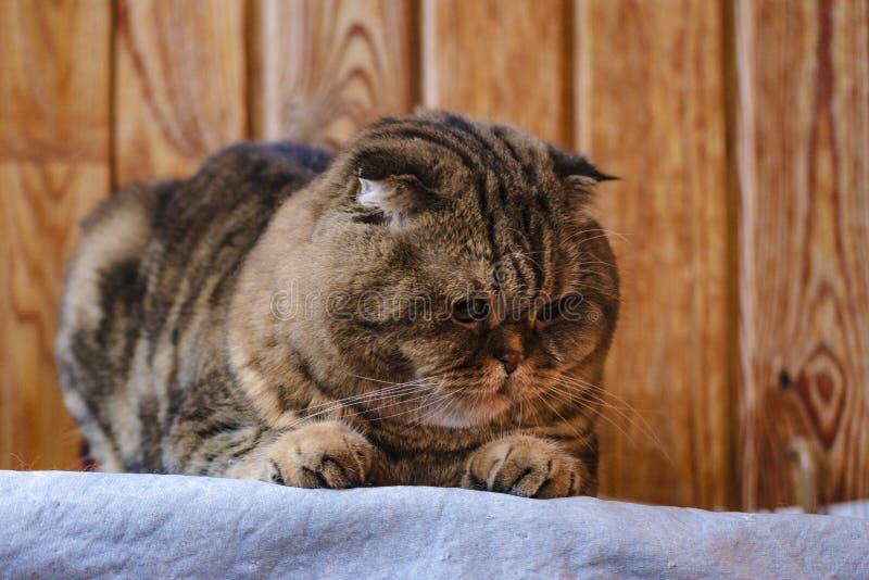 Il popolare scozzese si siede su una struttura di legno Bello gatto multicolore delle bande con gli occhi giallo verde Il gattino fotografia stock libera da diritti