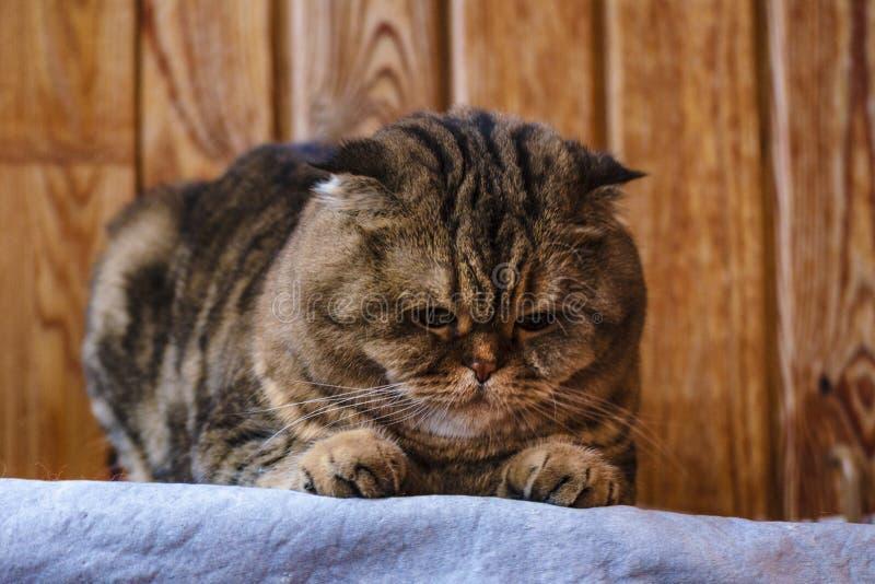 Il popolare scozzese si siede su una struttura di legno Bello gatto multicolore delle bande con gli occhi giallo verde Il gattino immagini stock