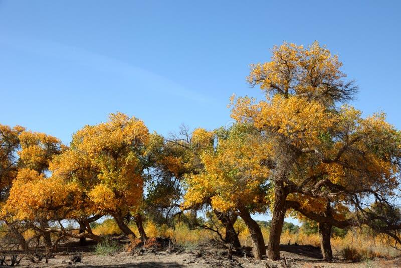 Il populus euphratica di Ejinaqi dell'eroe del deserto fotografia stock