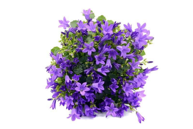 Il poscharskyana blu della campanula dei bellflowers su bianco ha isolato il BAC fotografie stock