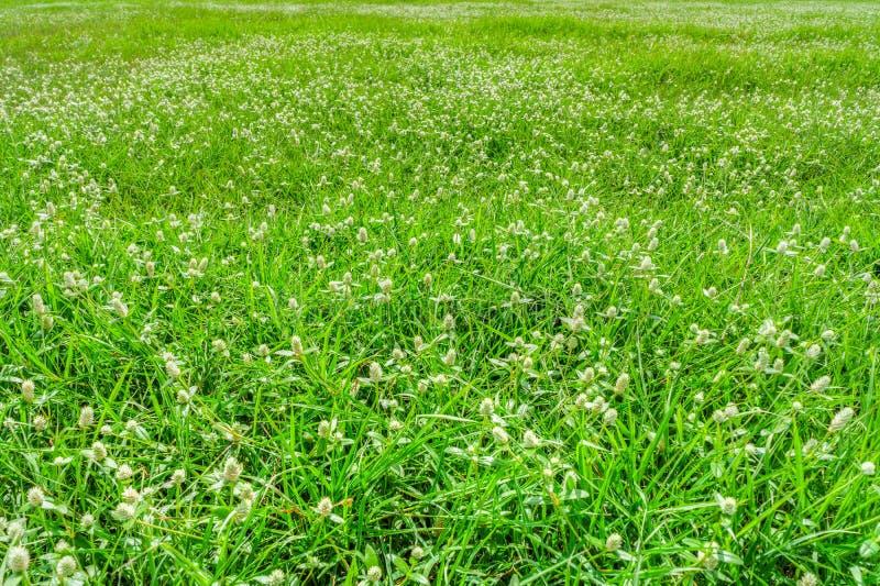 Il prato delle poaceae fotografia stock