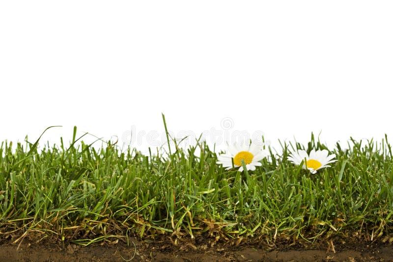 Il prato inglese con le margherite e la sezione trasversale del terreno ha isolato fotografia stock