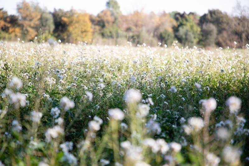 Il primo piano bianco del giacimento di fiori della violenza ha offuscato fotografie stock