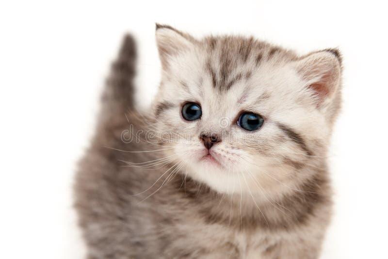 Il primo piano britannico baffuto lanuginoso grigio del gattino su fondo bianco ha isolato divertente fotografia stock libera da diritti