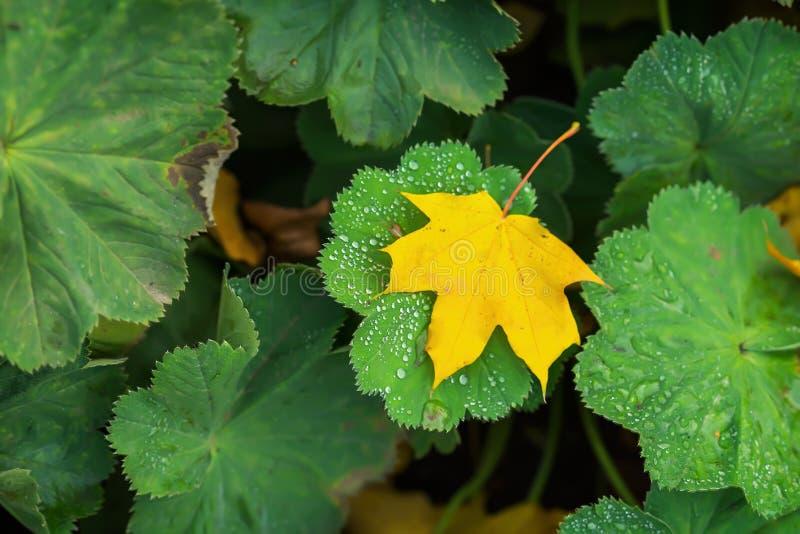 Il primo piano da una foglia di autunno caduta primo giallo in erba verde con la mattina brillante cade L'autunno è venuto modern immagine stock