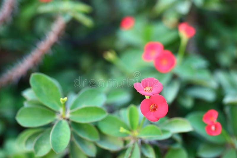 Il primo piano del fiore rosso di probabilità di intercettazione Sian, foglie verdi, è uno degli alberi sacri immagine stock libera da diritti