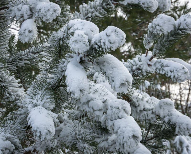 Il primo piano del parviflora giapponese Glauca del pinus del pino dei bei rami bianchi ha coperto la neve lanuginosa bianca immagine stock