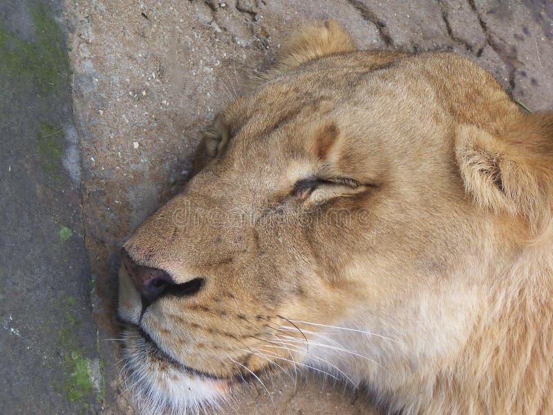 Il primo piano del suo fronte come leonessa dorme fotografie stock libere da diritti