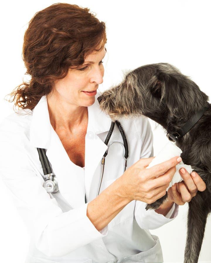 Il primo piano del veterinario che avvolge i cani ha danneggiato la zampa immagini stock libere da diritti