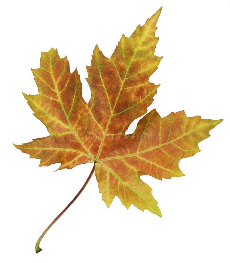 Il primo piano della foglia brillantemente colorata di autunno ha isolato variopinto su fondo bianco immagine stock libera da diritti