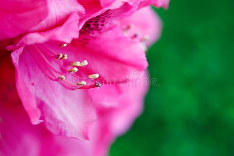 Il primo piano di belle azalee rosa fiorisce nella primavera immagini stock
