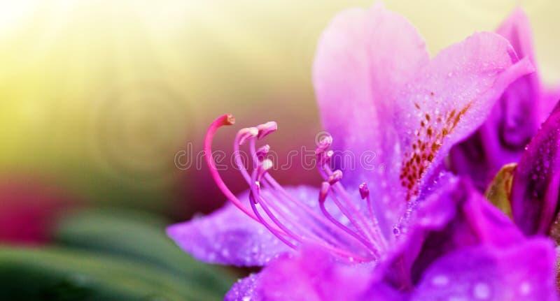 Il primo piano di belle azalee rosa fiorisce nella primavera immagini stock libere da diritti