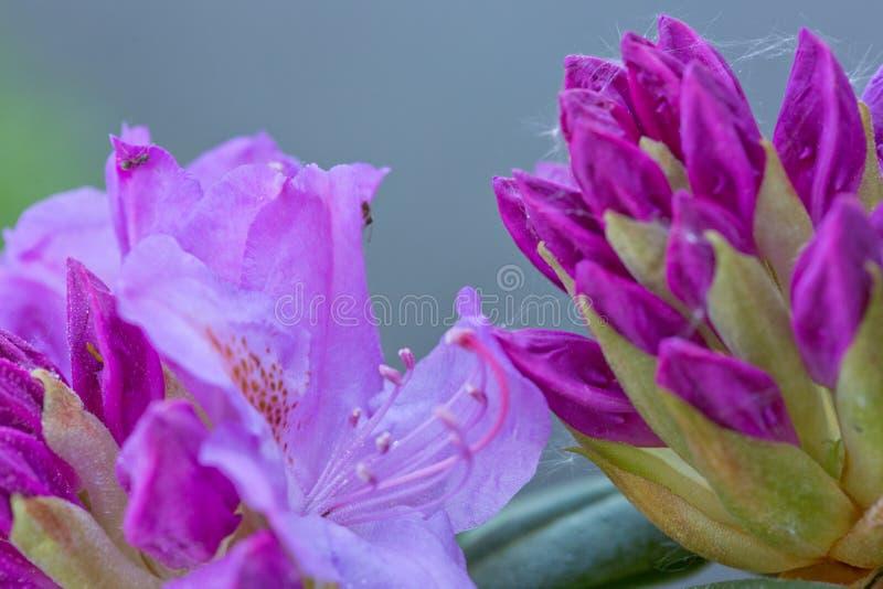 Il primo piano di belle azalee rosa fiorisce nella primavera fotografie stock libere da diritti