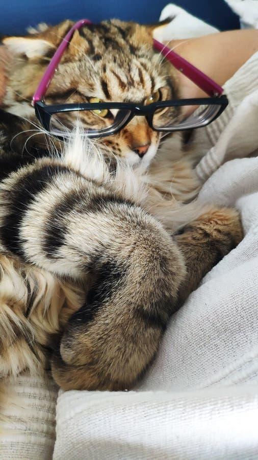 Il primo piano di Maine Coon che il gattino con i vetri ha messo sul suo naso si trova sotto il braccio di un proprietario addorm fotografia stock