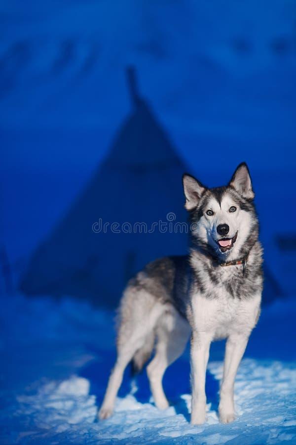 Il primo piano di seduta del cane del husky di luce bianca osserva contro lo sfondo di una notte polare dell'inverno su Spitsberg fotografie stock