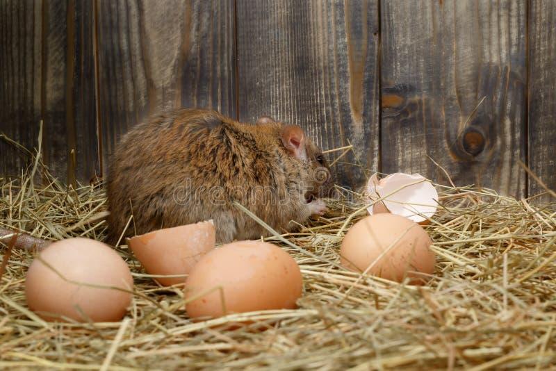 Il primo piano il giovane ratto mangia l'uovo di gallina nella gabbia di pollo Vista posteriore fotografia stock libera da diritti
