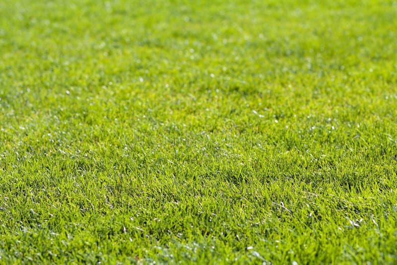 Il primo piano ha dettagliato il fondo di erba luminosa verde fresca il giorno di estate soleggiato Prato inglese meravigliosamen fotografie stock