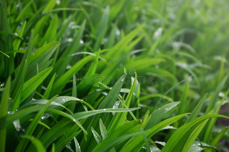 Il primo piano ha sparato dei gambi erbosi densi con le gocce di rugiada Macro colpo di erba bagnata come immagine di sfondo per  fotografie stock