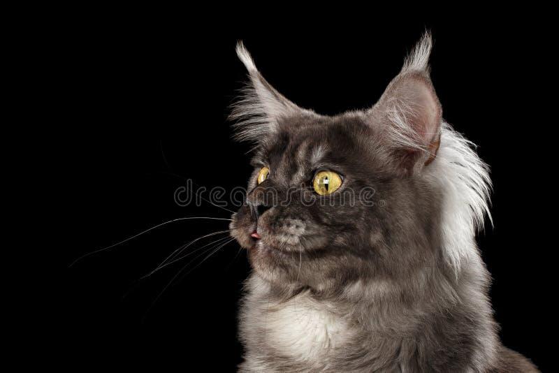 Il primo piano Maine Coon Cat Surprised divertente, lingua di manifestazione, ha isolato il nero immagine stock