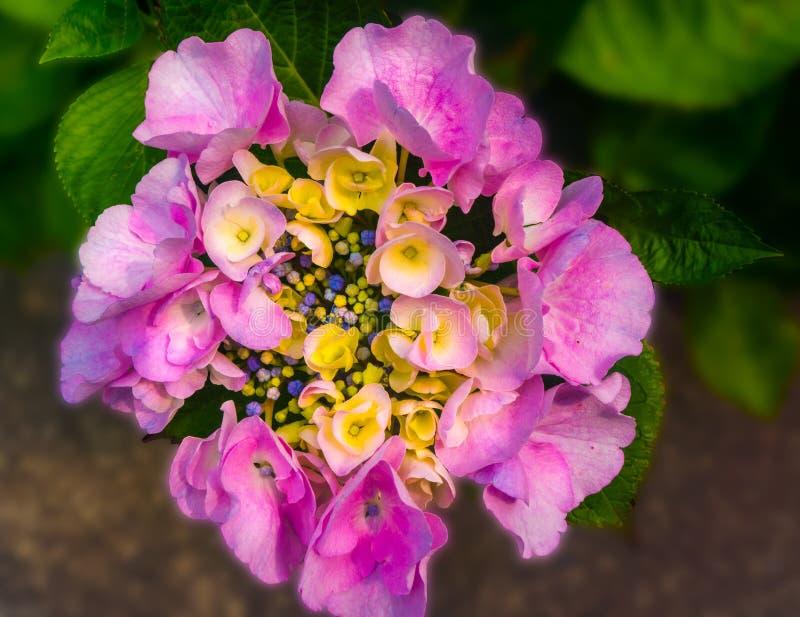 Il primo piano rosa del fiore dell'ortensia sboccia fondo vago immagine stock libera da diritti
