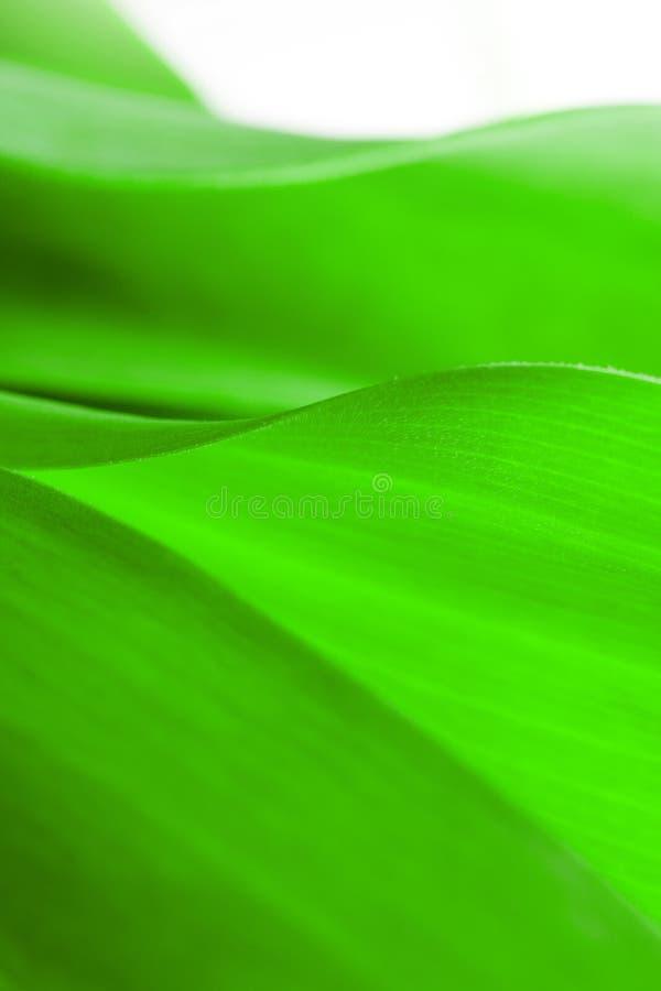Il primo piano verde della foglia, primo piano ha sparato di belle piante delle curve fotografia stock libera da diritti