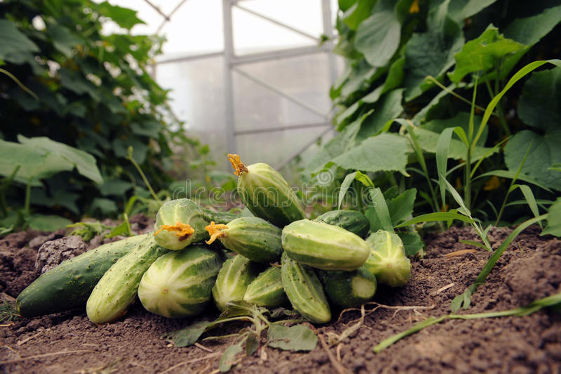 Il primo raccolto dei cetrioli raccolti sul suo diagramma domestico immagine stock
