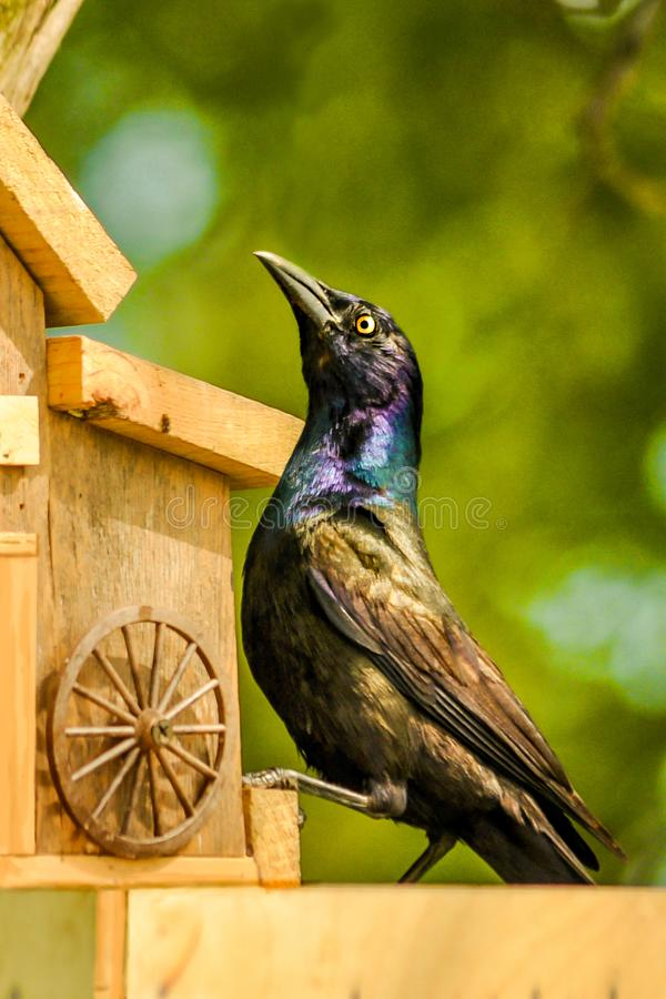 Il principe nero dell'alimentatore dell'uccello fotografia stock